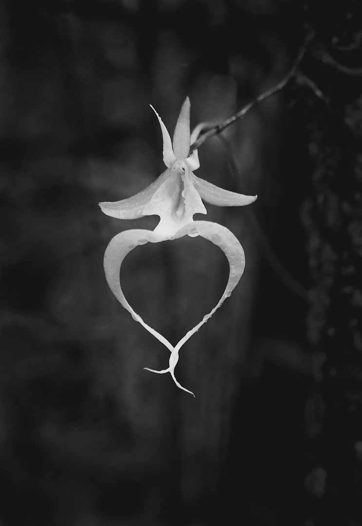 Ghost Orchid 1 1999 Clyde Butcher Black White Fine Art