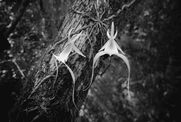 Ghost Orchid Twin 2