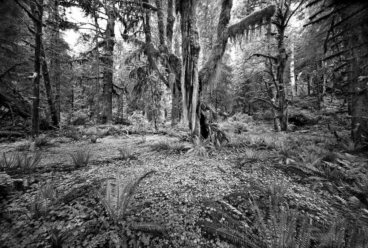 Hoh Rainforest 1
