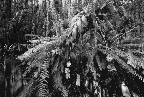 Butcher_C_Loosescrew_Swamp_Sanctuary_orchid