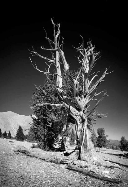 bristlecone pine 340×60