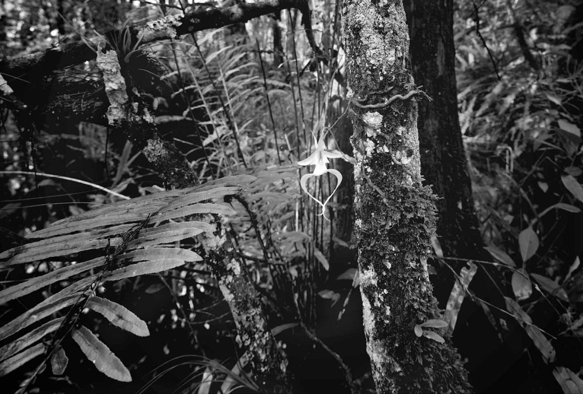 Ghost Orchid 2