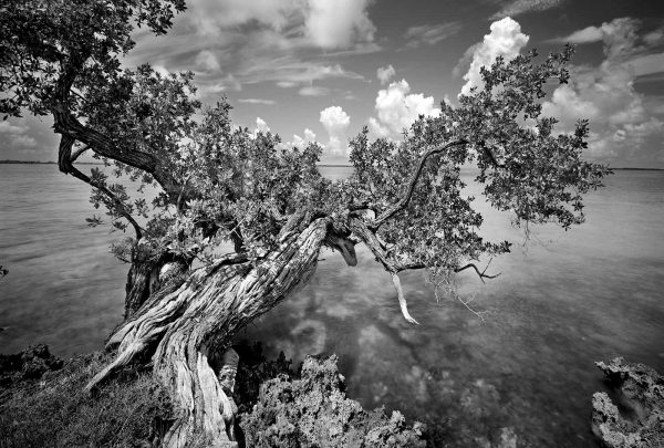 key largo buttonwood