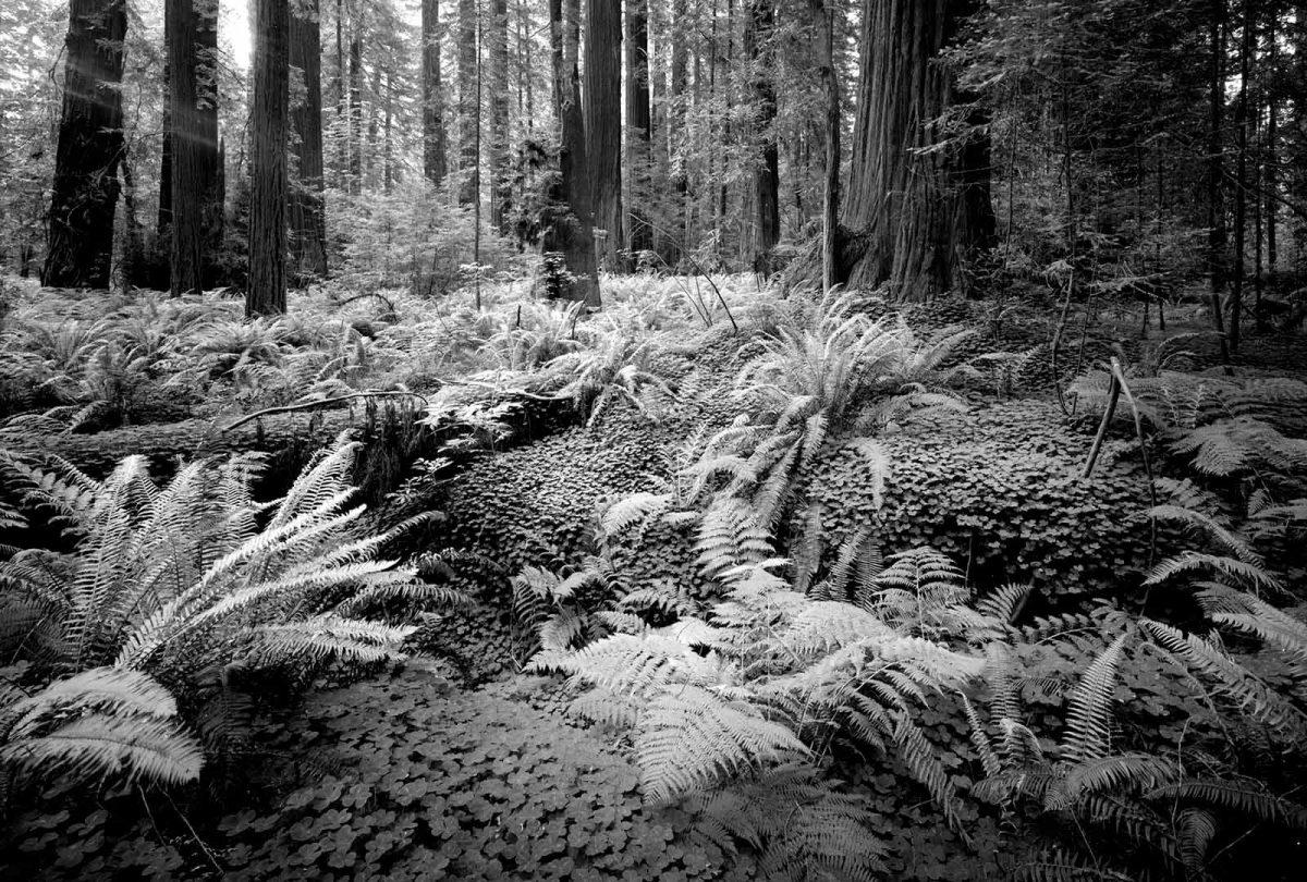 Pepperwood Redwoods 14