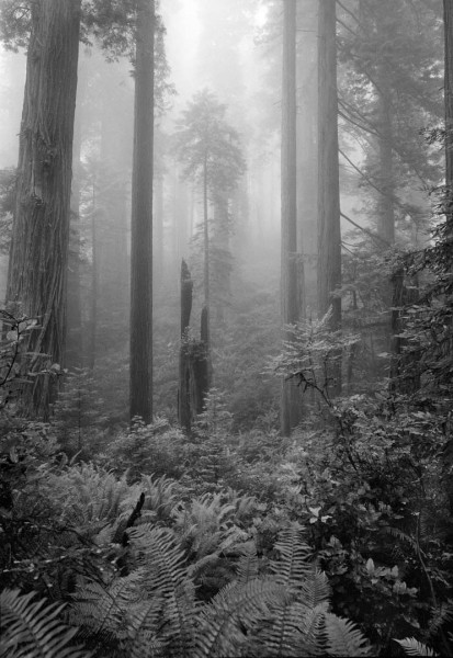 foggy forest 2 b&w