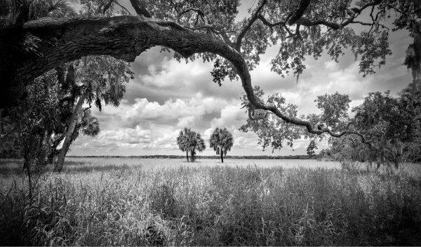 Myakka Oak 20