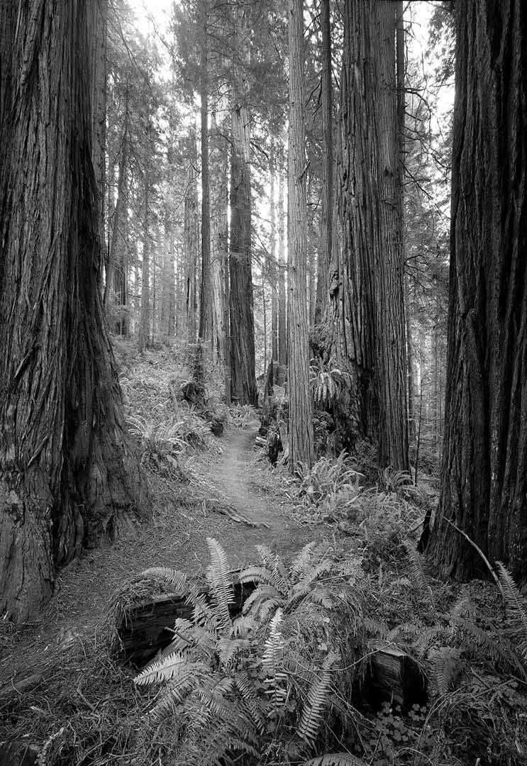 Redwood Path 1