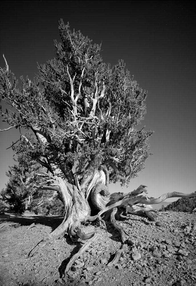 Bristlecone Pine 2