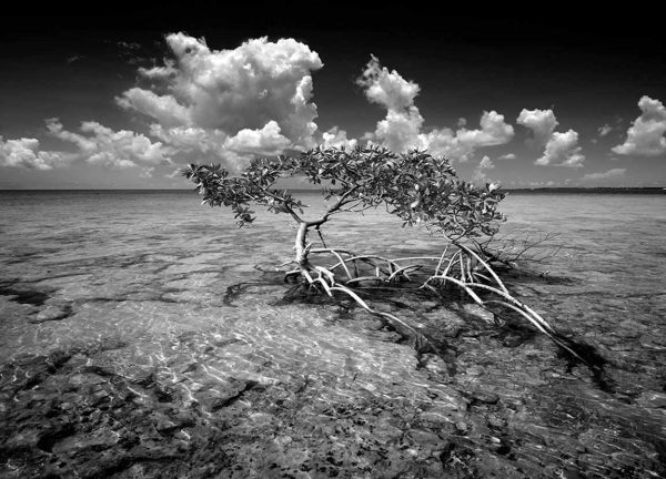 Money Key Mangrove