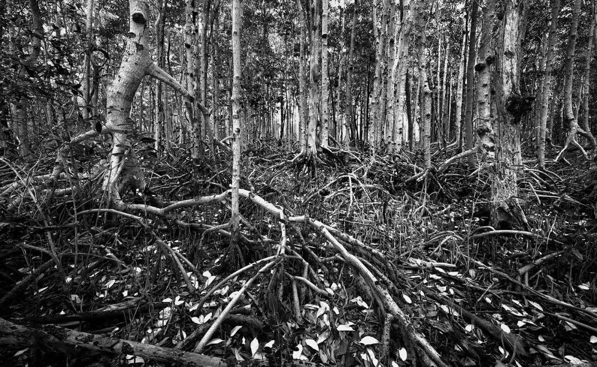 Pennekamp White Mangrove 3