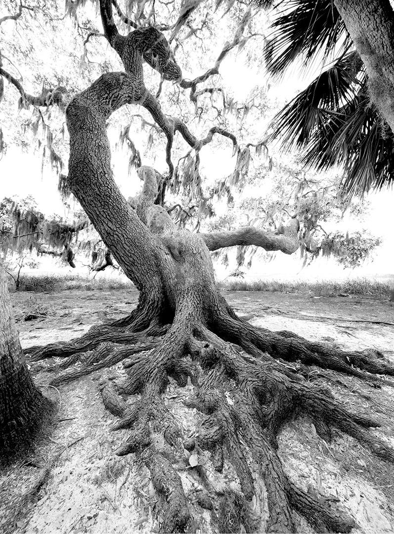 Myakka Living Oak