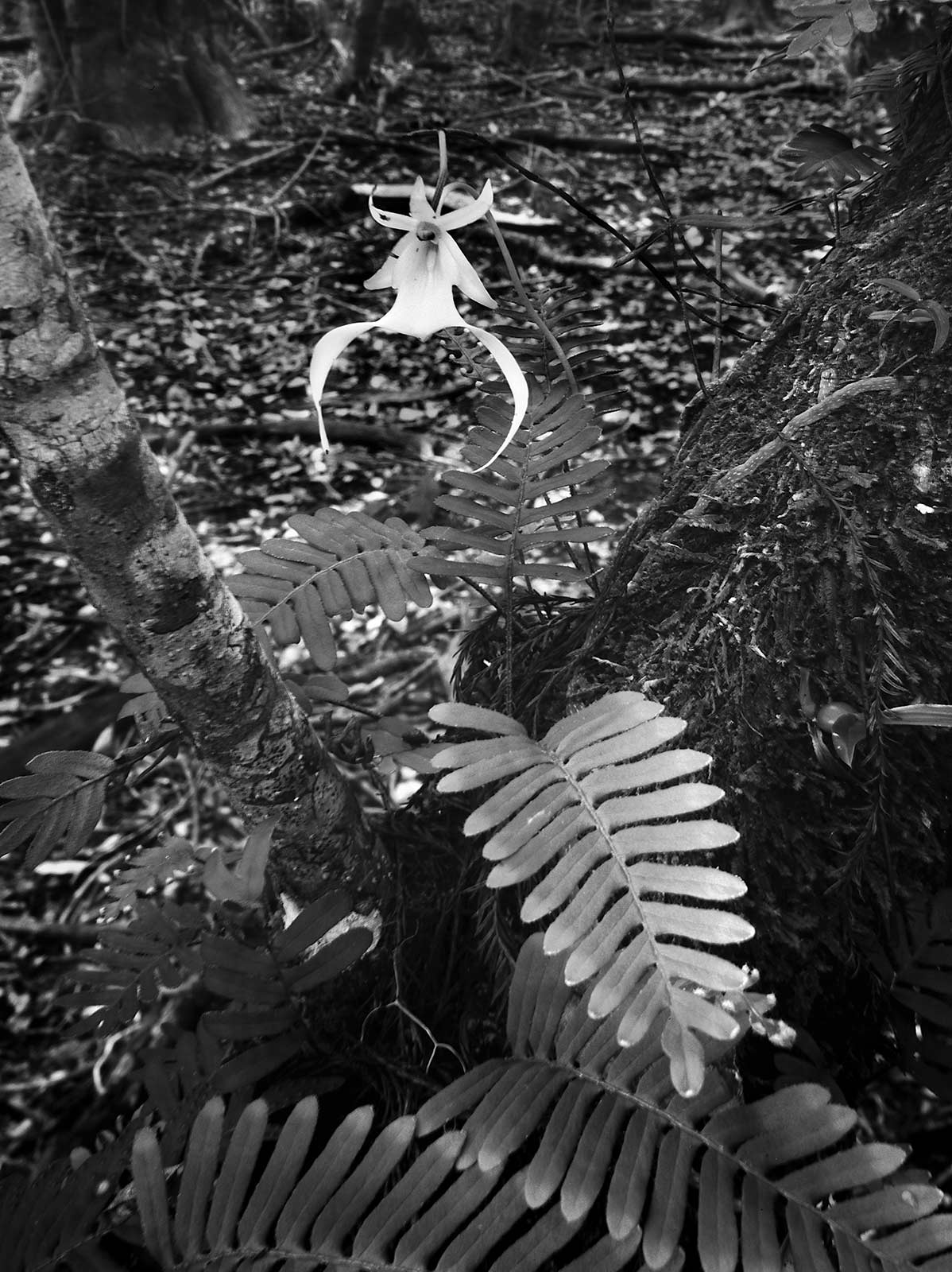 Ghost Orchid Big Cypress