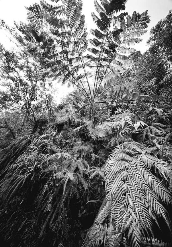 Ancient-Tree-Fern_4C_PT