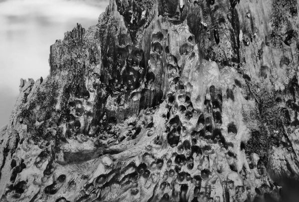 Cypress Stump