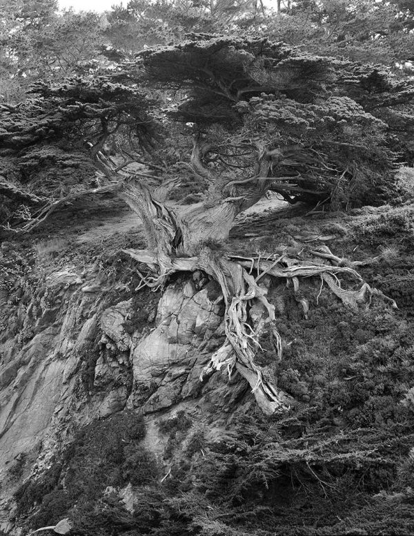 sentinel-tree-1-50×64